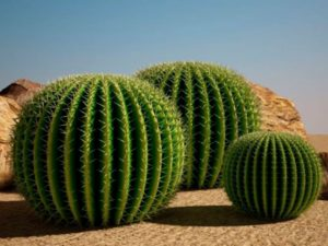 яркий представитель кактусового семейства