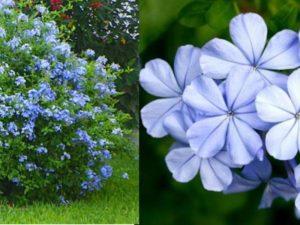 очень красивый садовый цветок, в роду которого насчитывается более 800 видов