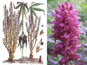 растение паразит, которое для развития может присасываться к корневой системе подсолнечника
