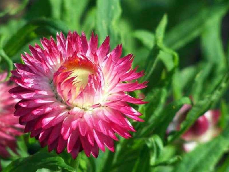 Отличаются высотой стебля от 80 до 120 см., диаметр цветения 5-6 см. Цвет лепестков бывает красно-коричневый, золотой, фиолетовый, белый, пестрые цвета.