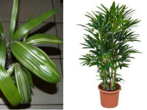 Рапис – выращивание пальмы в домашних условиях