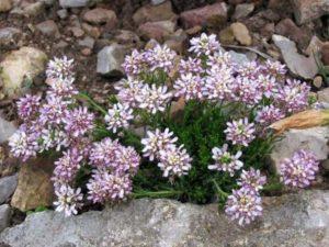 Litl Djem – низкорослый почвопокровник, 10-12 см. в высоту. Обладает белоснежными цветами.