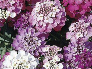 Snowflake – образует плотные куртины, средней высоты, 20-25 см., с белым цветением.