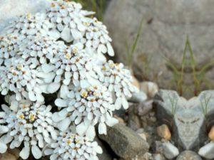 Растение иберейка – описание видов: вечнозеленая, горькая, зонтичная.