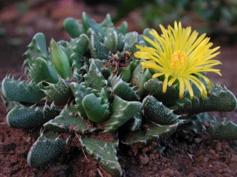 Алоинопсис Орпена – листья удлиненной формы, заостренные кверху