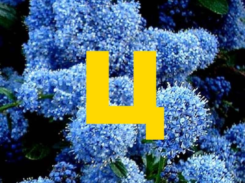Кустарниковое или полукустарниковое растение, из семейства Крушиновые