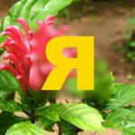 Растение из семейства Акантовые