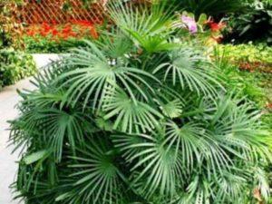 Эта пальма относится к двудомным, но внешне мужские и женские экземпляры не отличаются.