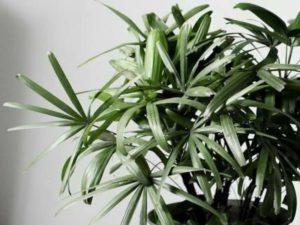 Цветение происходит белыми, крупными, мясистыми цветами на поверхности листьев. Плоды не являются съедобными.